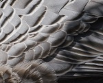 Emperor Goose Feathers