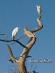 Immature Little Blue Herons in Tree