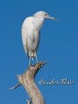 Immature Little Blue Heron 2