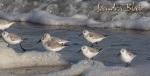 Sanderlings 3
