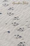 Snow Geese Tracks 1