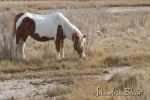 This is an older stallion all alone in the marsh.