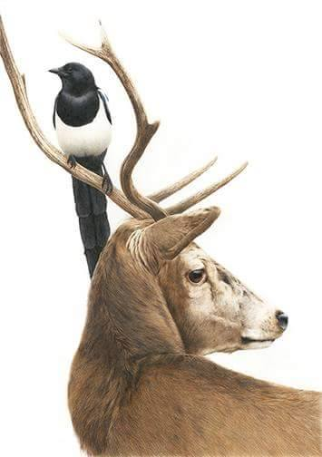 © Alan Woolett Red Deer and Magpie 16x26 Polychromos pencils on Fabriano paper