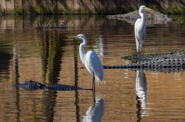 Great Egrets riding on the backs of swimming alligators
