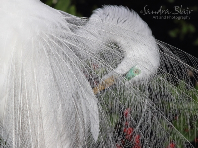 Preening Great Egret